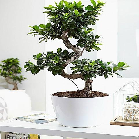 Lovely - Bonsai Plant