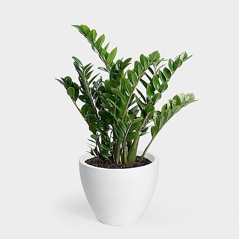 Greenery Unlimited - ZZ Plant