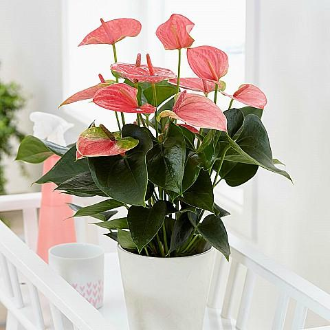 Indoor Pink Anthurium Plant