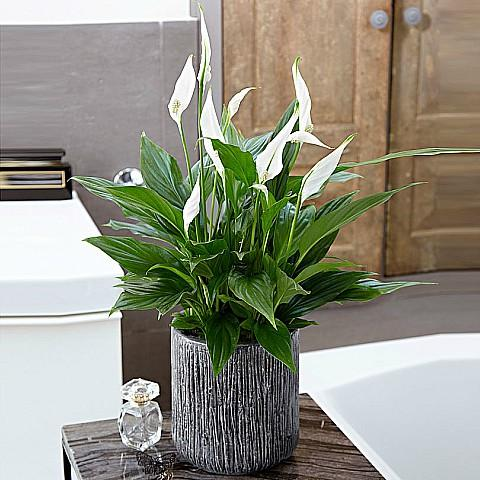 Peaceful White Spathiphyllum