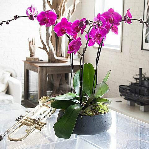 Deep Purple Orchid Plant